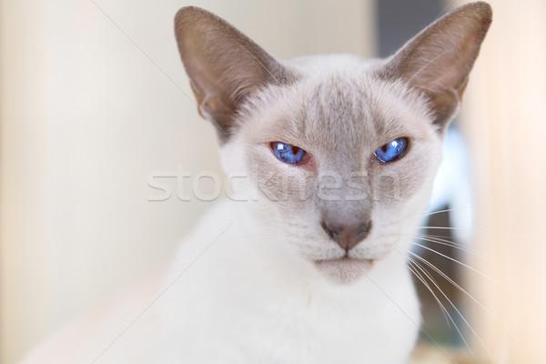 Orgona pont sziámi macska felnőtt akasztás ágy Stock fotó © ivonnewierink