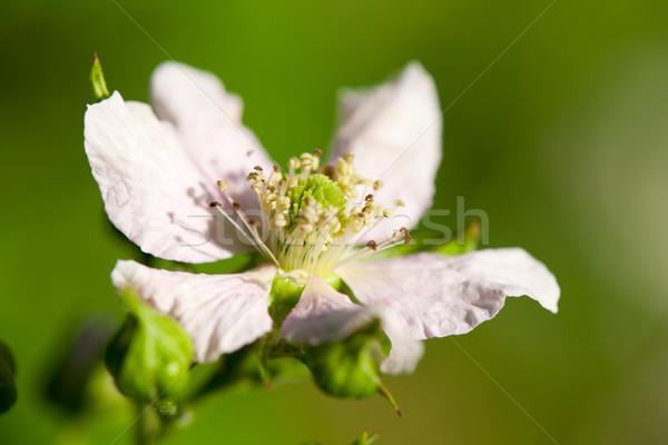 Bramble berriy flowers Stock photo © ivonnewierink