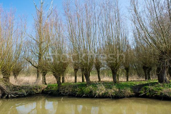 Typical pollard willows in Holland Stock photo © ivonnewierink