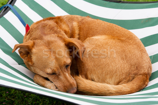 Sleeping dog Stock photo © ivonnewierink