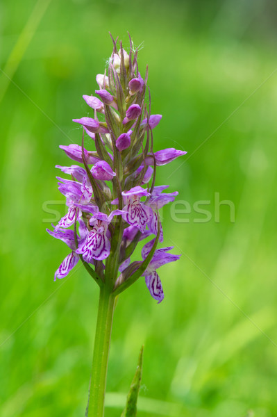 Leopard Marsh Orchid Stock photo © ivonnewierink