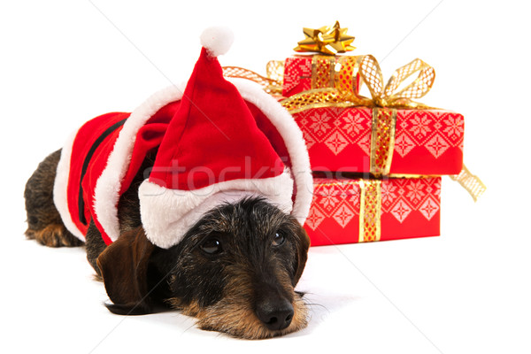 Wire haired dachshund with Christmas hat Stock photo © ivonnewierink