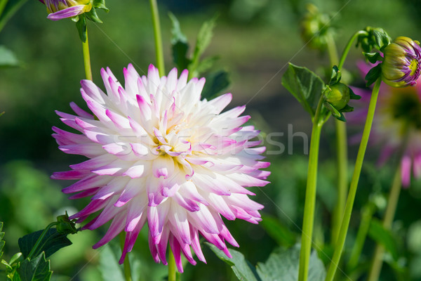 Stockfoto: Roze · dahlia · witte · cactus · plant