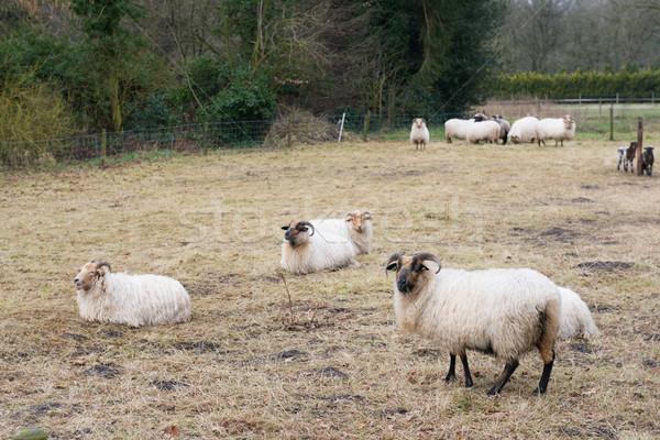 Drenthe Heath sheep Stock photo © ivonnewierink