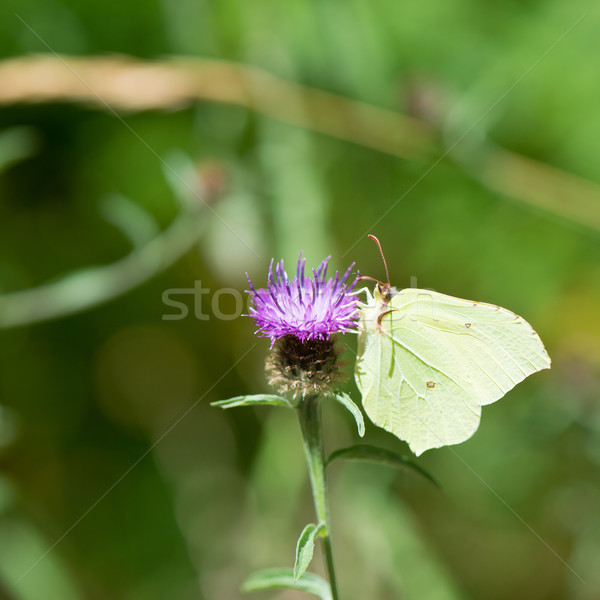 common brimstone on purple thistle Stock photo © ivonnewierink