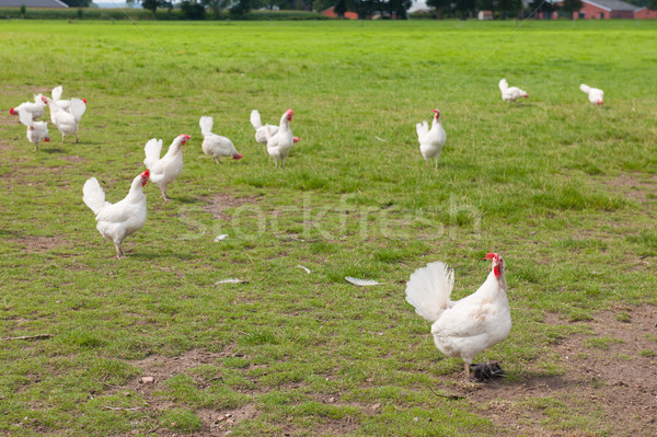 Biologico pollo agricoltura panorama natura campo Foto d'archivio © ivonnewierink