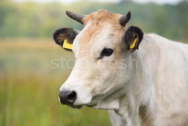 Nature landscape with portrait whitet cow Stock photo © ivonnewierink