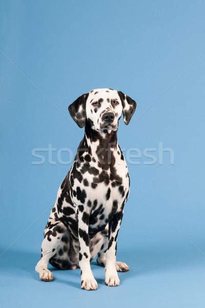 Dalmata kutya kék merő fajta ül Stock fotó © ivonnewierink