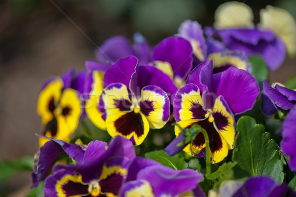 Violet Pansies Stock photo © ivonnewierink