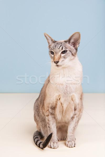 Sziámi macska szürke stúdió macska kék Stock fotó © ivonnewierink