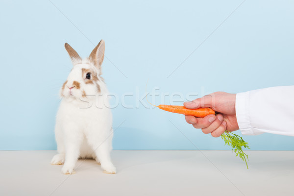 Vet lures a rabbit with carrot Stock photo © ivonnewierink
