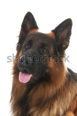 German shepherd Stock photo © ivonnewierink
