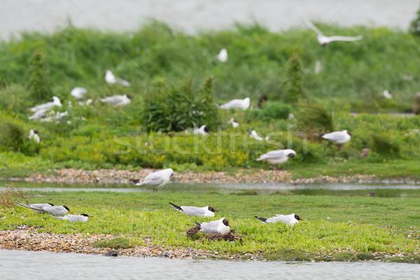 колония Чайки разведение несовершеннолетний природы птиц Сток-фото © ivonnewierink