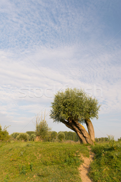 Stock photo: Knotted willow in landscape