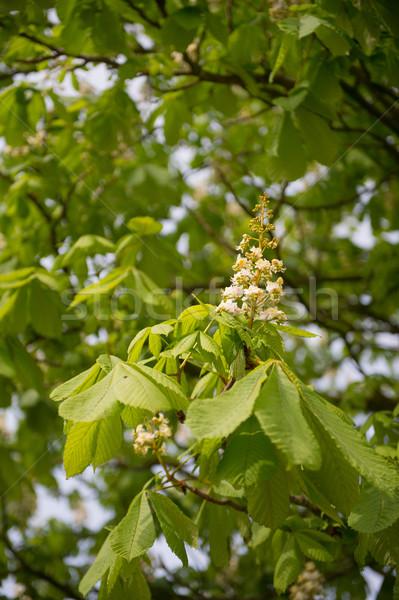 Castanha árvore primavera flor flores Foto stock © ivonnewierink