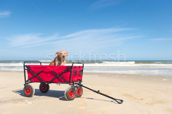 Dog in beach cart Stock photo © ivonnewierink