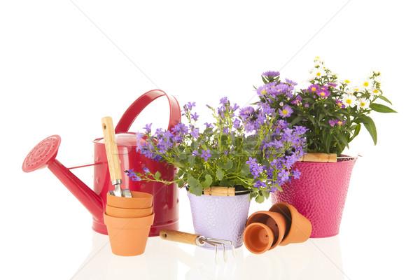 Marguerites pourpre Daisy fleur rose pot Photo stock © ivonnewierink