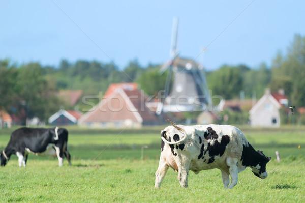 Vacas holandés paisaje Holanda vaca verde Foto stock © ivonnewierink