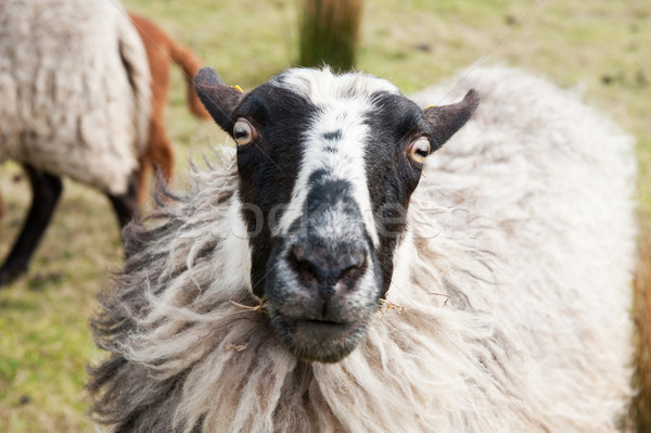 Head of a sheep Stock photo © ivonnewierink