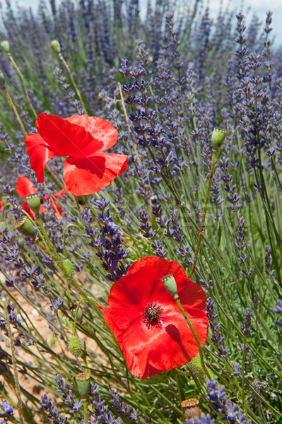 Lavender field with poppies Stock photo © ivonnewierink