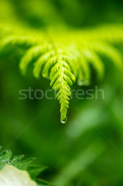 Fern leave in rain Stock photo © ivonnewierink