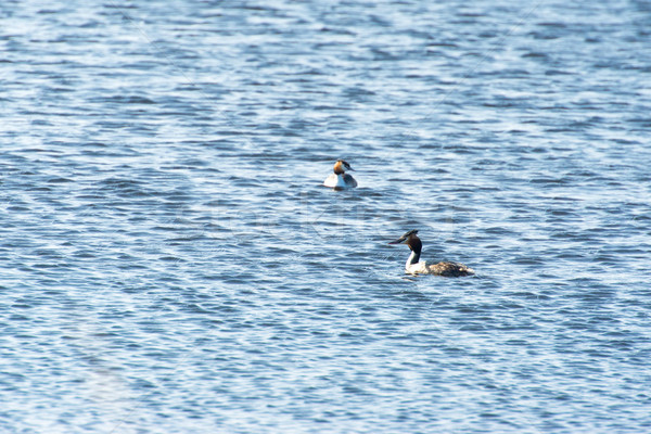 Great Crested Grebes in water Stock photo © ivonnewierink
