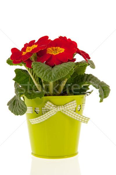 Vermelho prímula verde balde metal plantas Foto stock © ivonnewierink