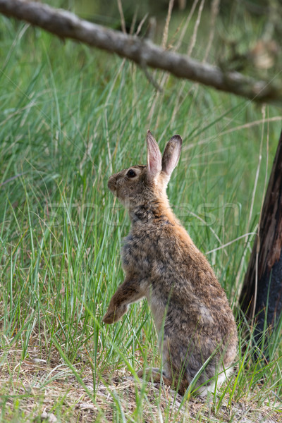 Standing hare in dunes Stock photo © ivonnewierink