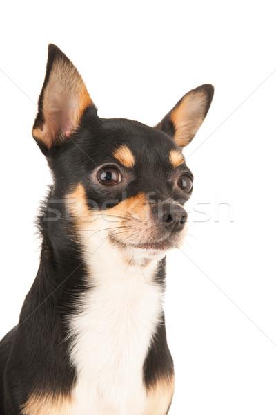 Foto stock: Retrato · isolado · branco · cão · preto · estúdio