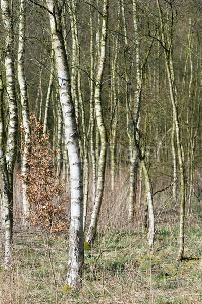 Brzozowy lasu zimą czasu charakter Zdjęcia stock © ivonnewierink