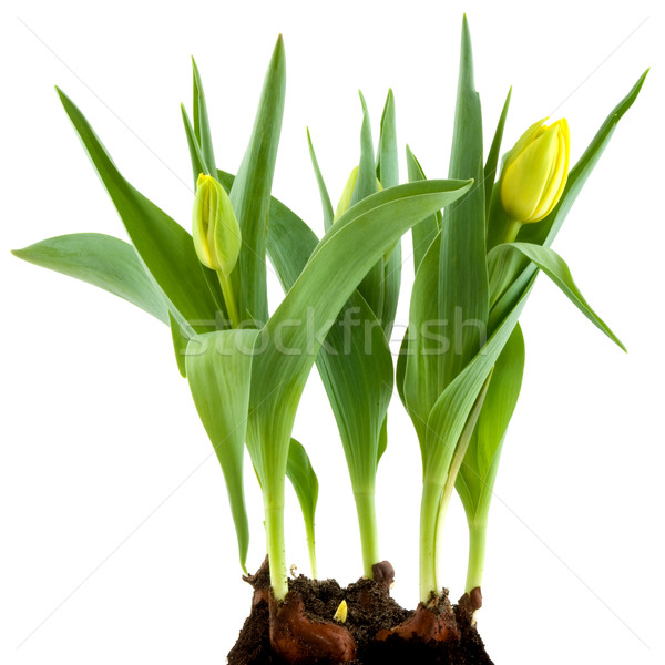 Yellow flower bulbs Stock photo © ivonnewierink