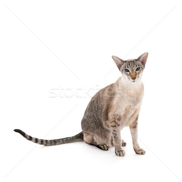 Fóka sziámi macska ül stúdió izolált fehér Stock fotó © ivonnewierink