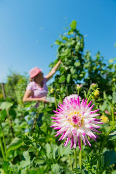 Woman in vegetable garden Stock photo © ivonnewierink