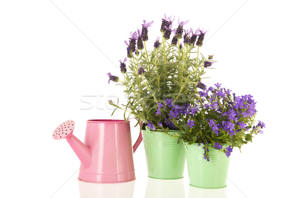 Campanula and Lavandula in flower pot Stock photo © ivonnewierink