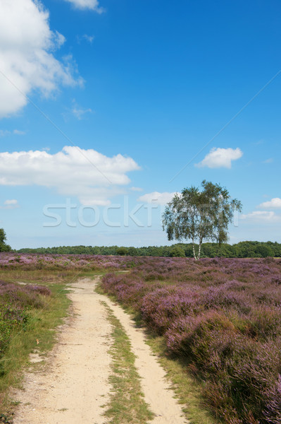 Heather landscape with single lane Stock photo © ivonnewierink