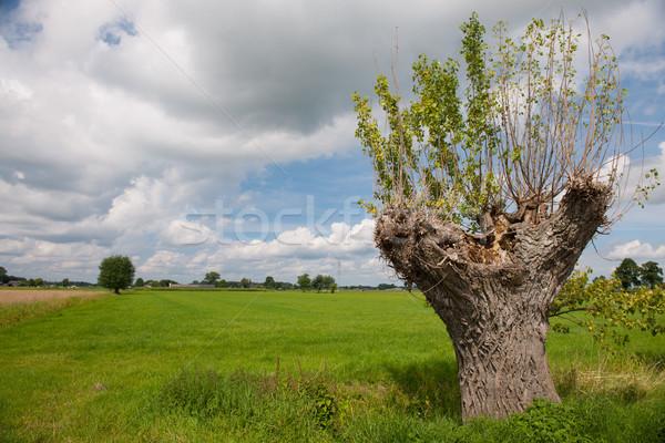 ива голландский пейзаж дерево весны трава Сток-фото © ivonnewierink