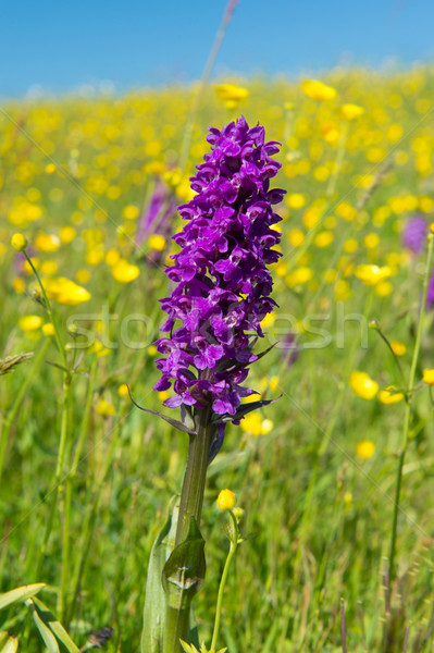 western marsh orchid in field with butter cups Stock photo © ivonnewierink