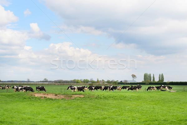 Grazing cows in meadow Stock photo © ivonnewierink