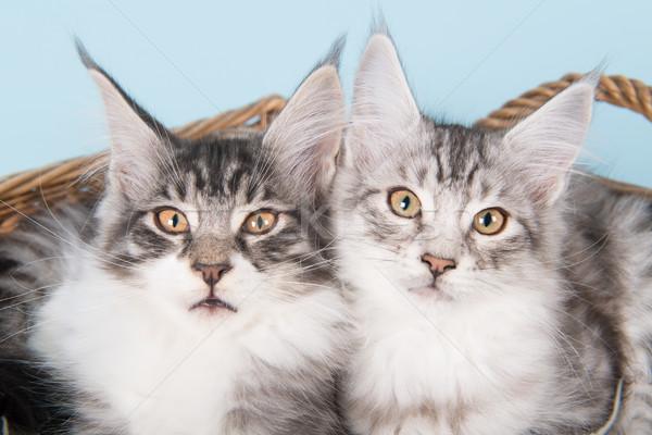 Maine kiscicák kék portré stúdió díszállat Stock fotó © ivonnewierink