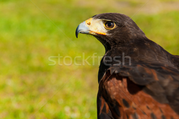 Wild hawk Stock photo © ivonnewierink