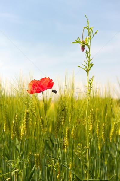 野の花 トウモロコシ畑 ポピー 自然 風景 フィールド ストックフォト © ivonnewierink