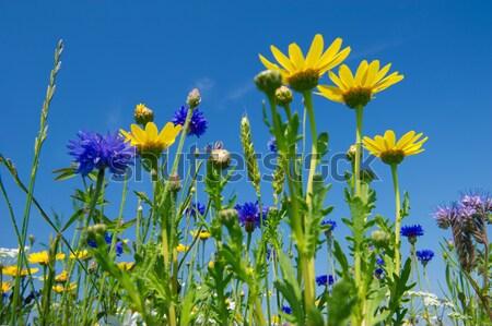 Flores silvestres cielo azul flores naturaleza azul maíz Foto stock © ivonnewierink