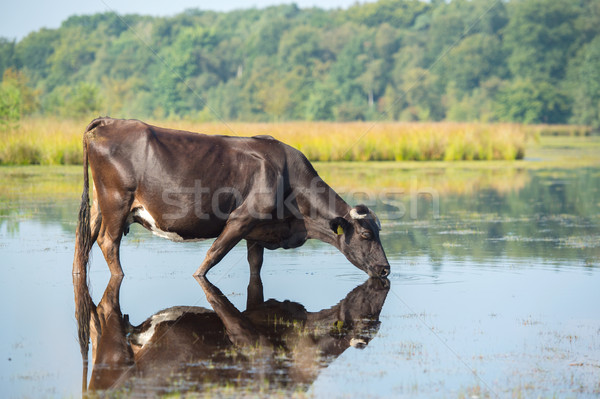 Nature landscape with cow in water Stock photo © ivonnewierink