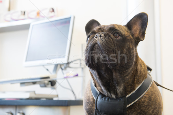 French Bulldog at the veterinarian Stock photo © ivonnewierink