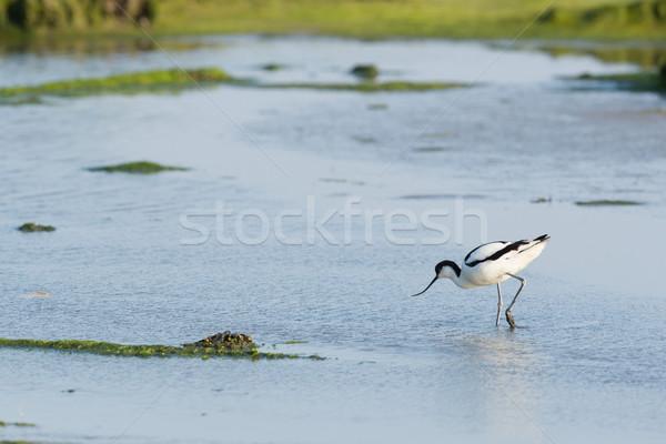 Pied Avocet in mudflat Stock photo © ivonnewierink