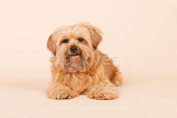 Pequeño de pelo largo perro beige mixto raza Foto stock © ivonnewierink