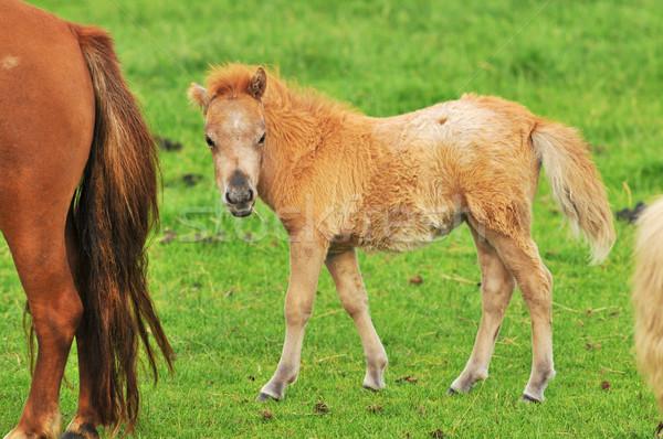 Little horse foal Stock photo © ivonnewierink