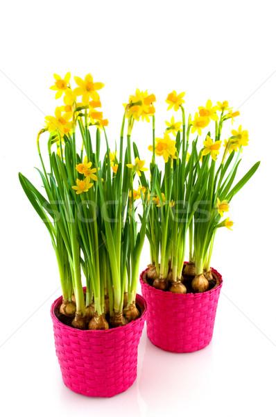 Yellow daffodils Stock photo © ivonnewierink