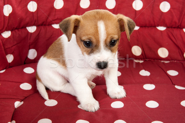 Stock photo: Red spotted pet bed with little puppy