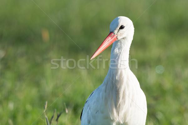 Stork standing in grass Stock photo © ivonnewierink